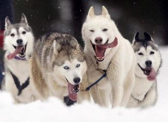 прогулка на собачьих упряжках